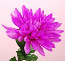 造花 菊 紫