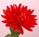 造花 菊 赤