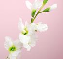 造花 グラジオラス 白